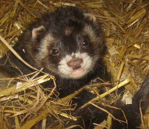 furet blackself
