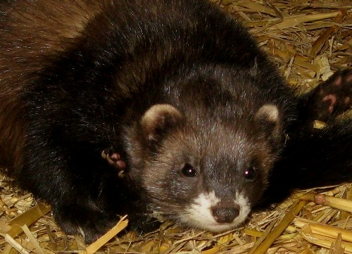 furet reproduction